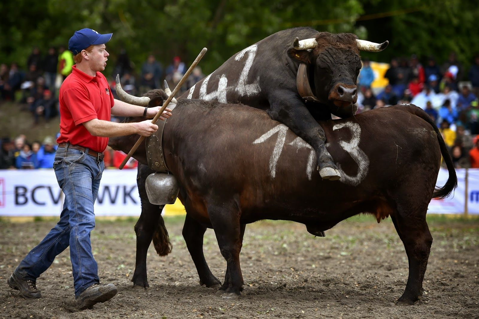 Battle of the Queens Herens Cows Fight (With images