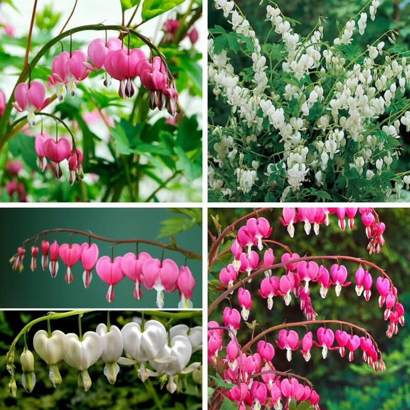 Bleeding Hearts Are The Flowers For Spring Farmfoodfamily Flower Landscape Bleeding Heart Bleeding Hearts
