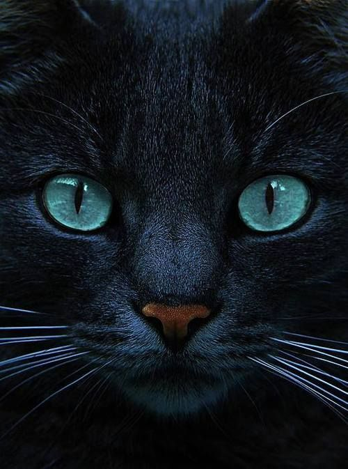 Love Those Eyes Black Cats With Blue Eyes Are Awesome Blue Is The Night By Joachim G Pinkawa Pretty Cats Beautiful Cats Animals