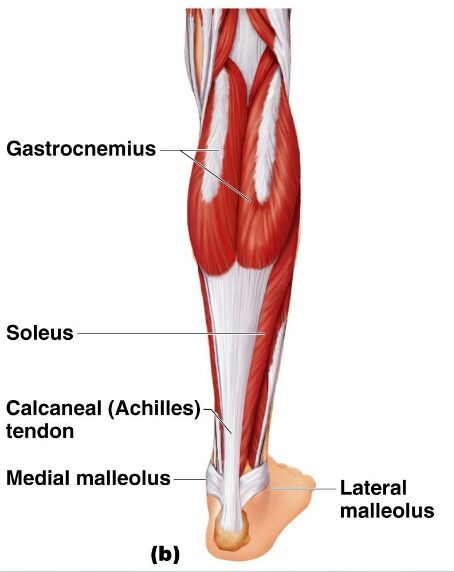 Right lower limb muscle and tendon anatomy | Doctor humor ...