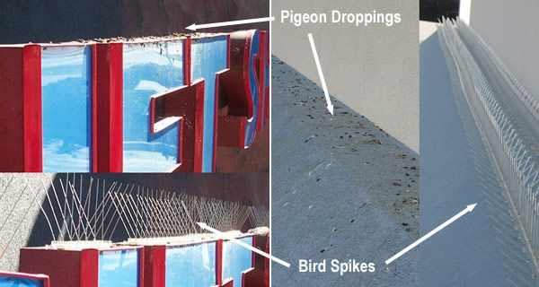 How To Get Rid Of Pigeons And Other Birds Home Remedies Get Rid Of Pigeons Pigeon Pigeon Repellent