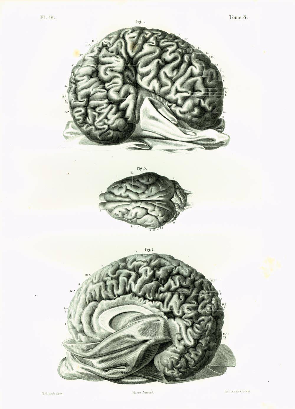 1854 Elephant Brain, Antique Veterinary print XL, Animal Wild Boar ...