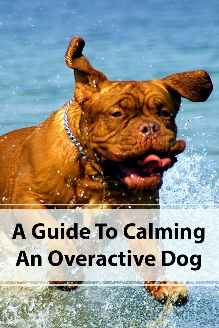 How to calm an overactive dog calm dogs dogs easiest