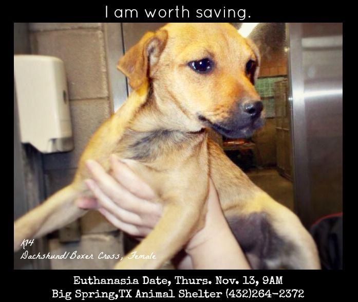 K14 Dach Boxer Cross Female Euthanasia Date Thurs Nov 13 9am Big Spring Tx Animal Shelter 432 264 2372 Animal Shelter Animals Pup