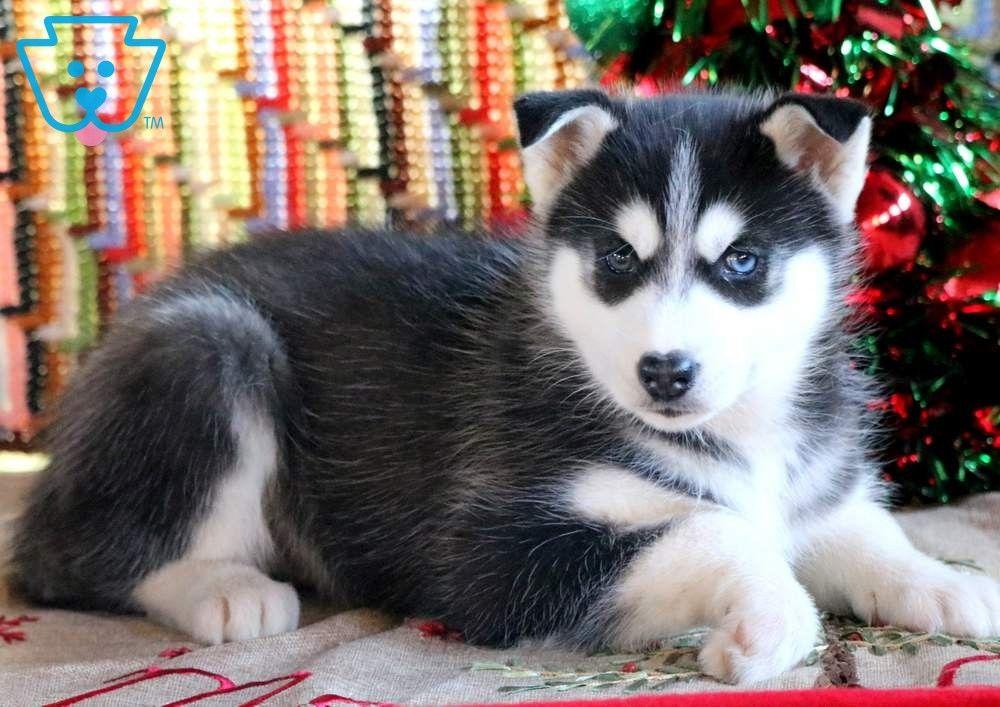 Hope Husky Puppies For Sale Husky Puppy Siberian Husky Puppies