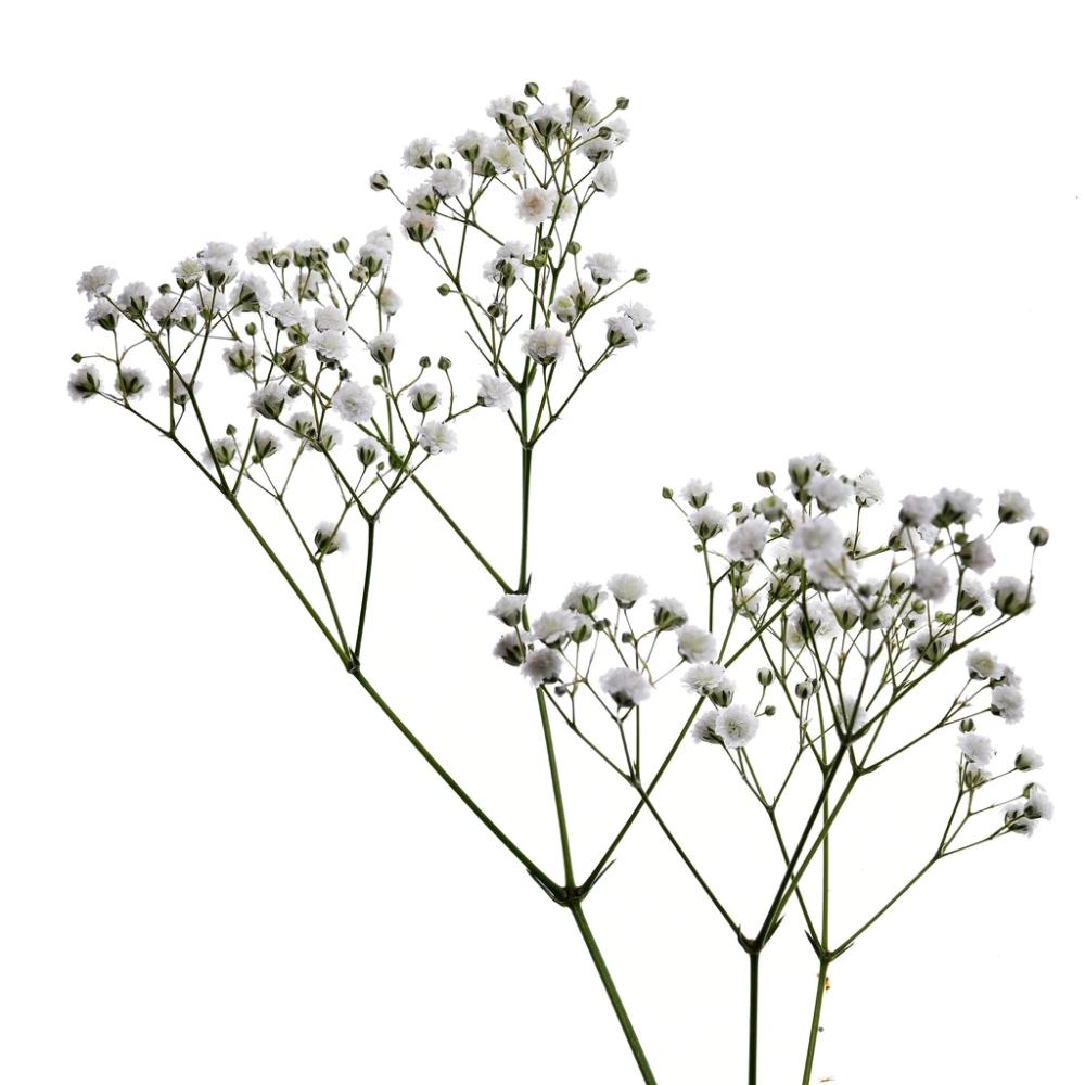 Baby S Breath Gypsophila Xcelence Extra Large Bloom Babys Breath Flowers Babys Breath Baby S Breath Plant