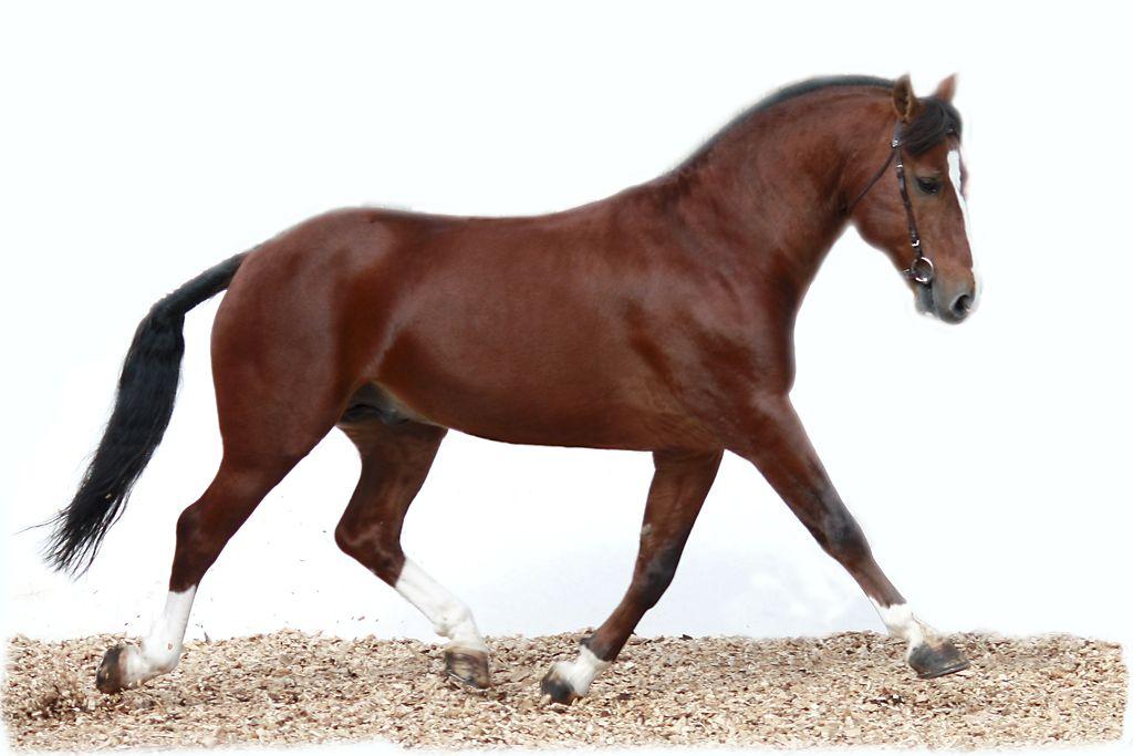 Freiberger Horses Breeds Freiberger Pinterest