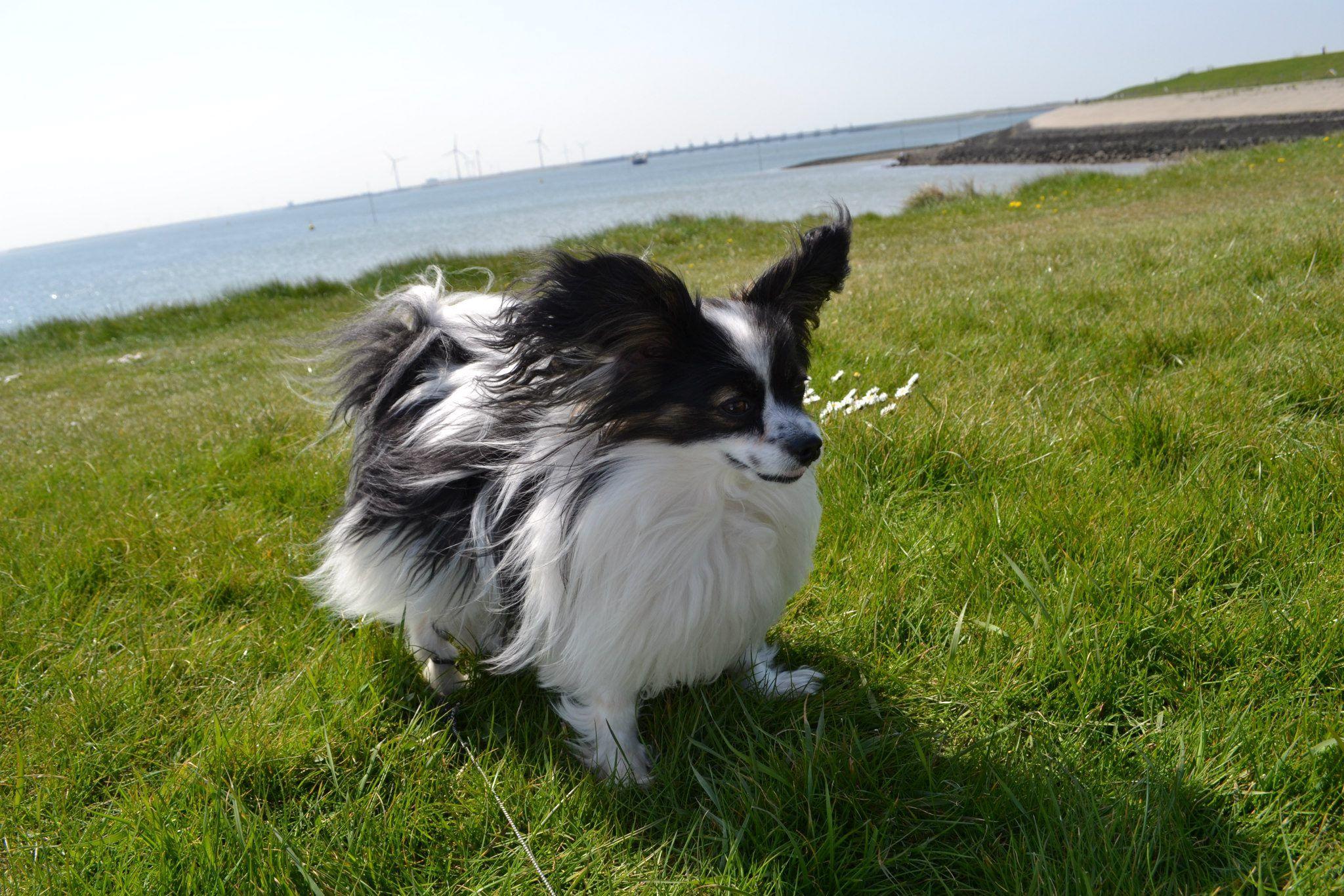 Jipsy, my Papillon Dog   Papillon dog, Papillon dog puppy ...