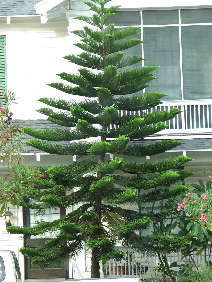 37694d1236649118 What Kind Tree Img 1362 Jpg 900 1200 Star Pine