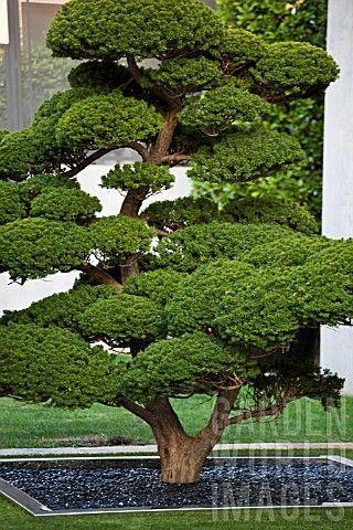 Podocarpus Macrophyllus Cloud Pruning