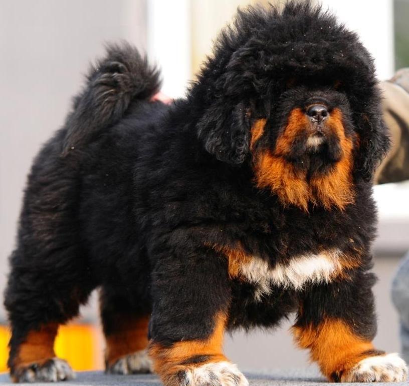 Tibetan Mastiff Puppies Lion Head
