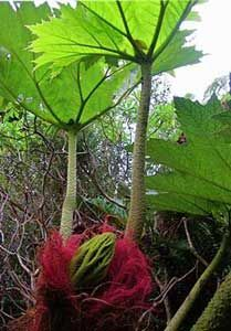 Gunnera peltata Dinosaur Food 8 seeds