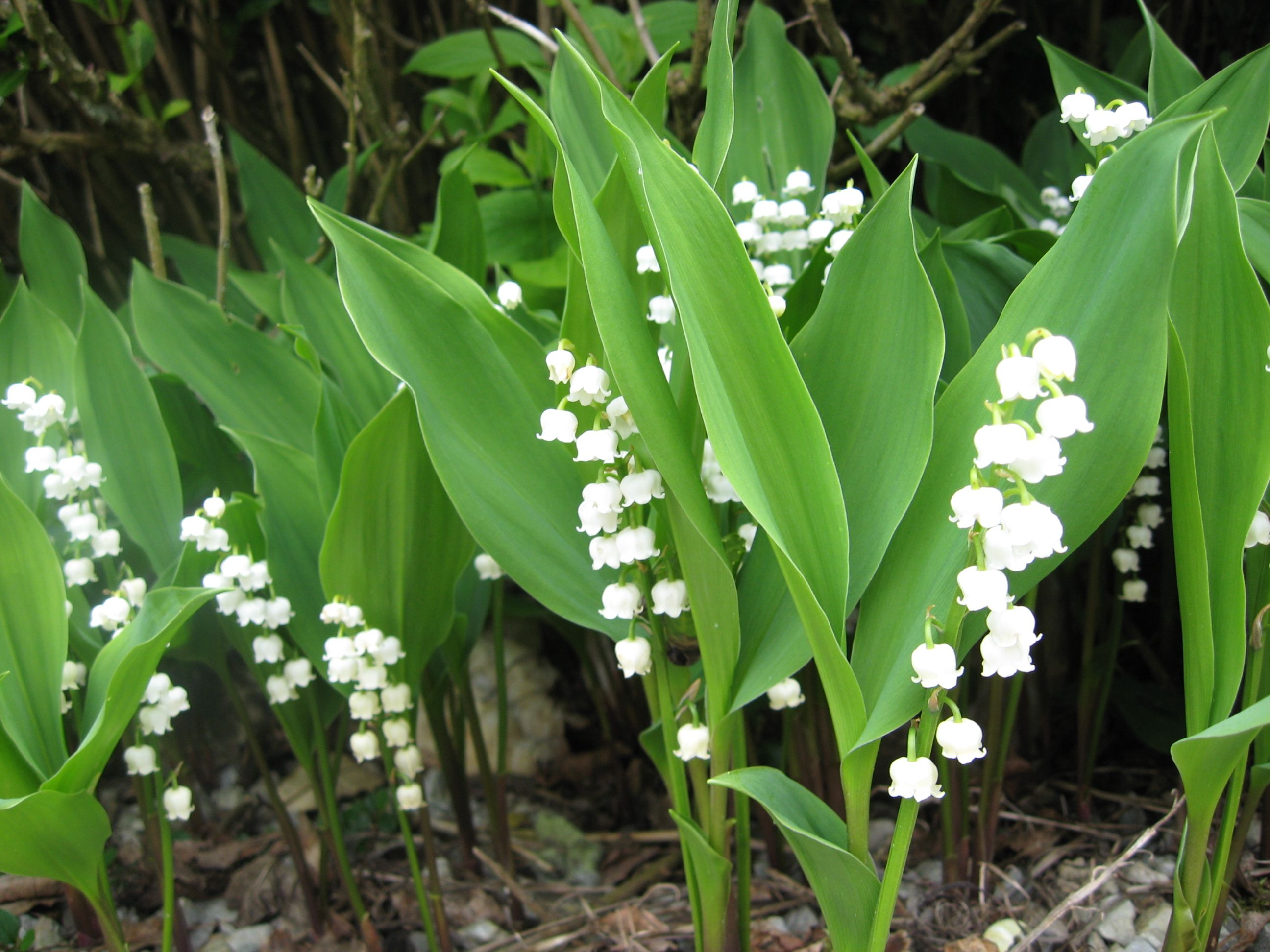 Lily of the valley may day in france gardens flowers and plants lily of the valley may day in france izmirmasajfo Images
