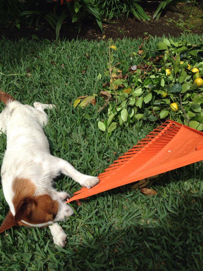 Bruno, Jack Russell Terrier