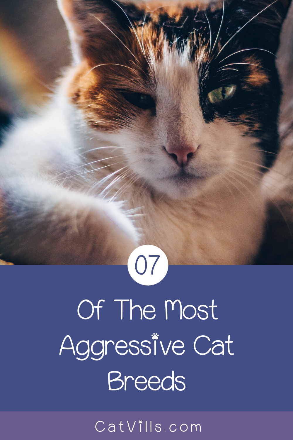 7 Most Aggressive Cat Breeds in 2020 (With images) Cat
