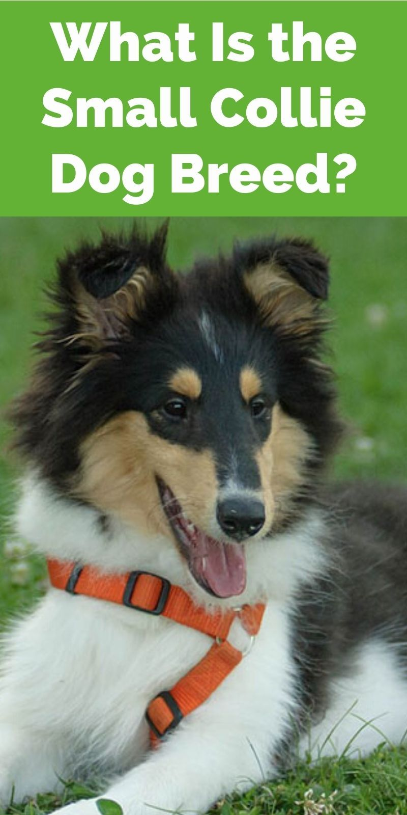 What Is The Small Collie Dog Breed Our Deer In 2020 Collie Dog Collie Dogs