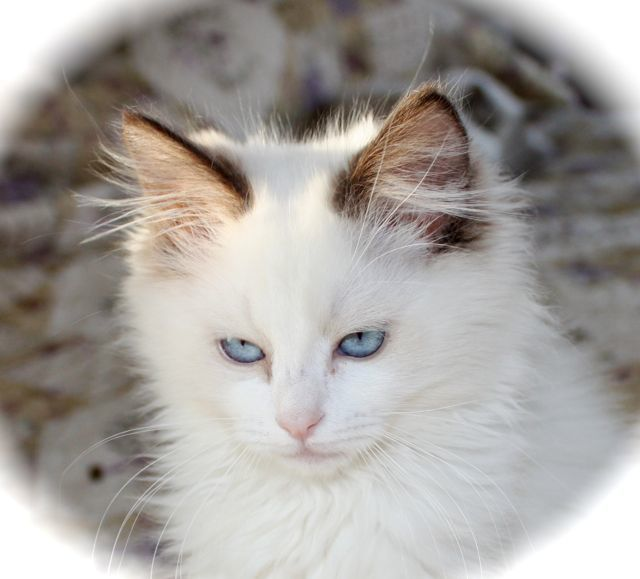 Lilacs Chocolates Ragdoll Cattery Gorgeous Cats Ragdoll Cat