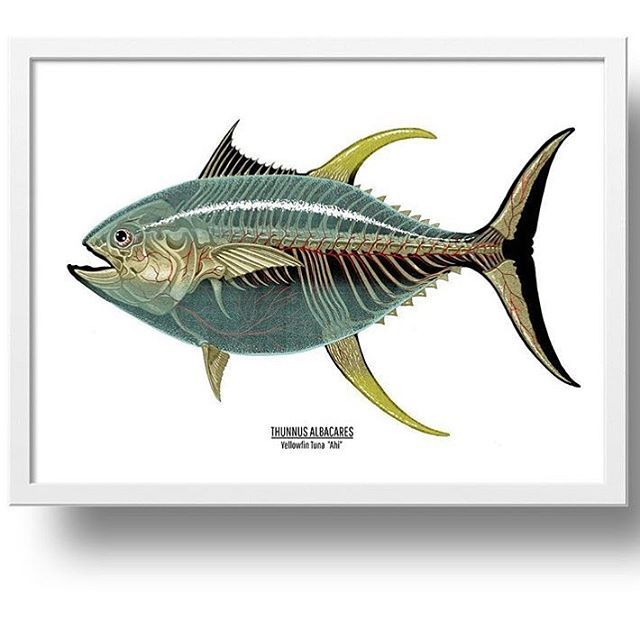 Nychosjust Got To Hawaii And This Guy Just Came Out Thunnus