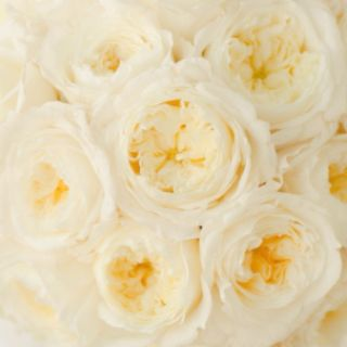 patience garden roses all year sub for peonies sometimes if peonies - White Patience Garden Rose