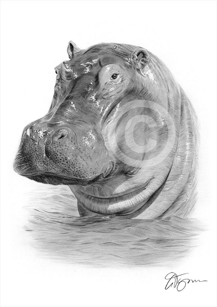 African hippo pencil drawing art print a4 a3 signed by uk artist artwork