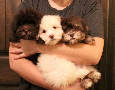 Puppies For Sale HavaHug Havanese Puppies Herz