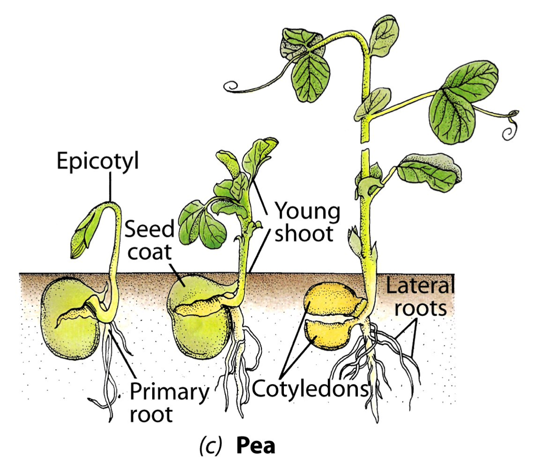 Dicot germination and seedling homeschool science pinterest dicot germination and seedling pooptronica