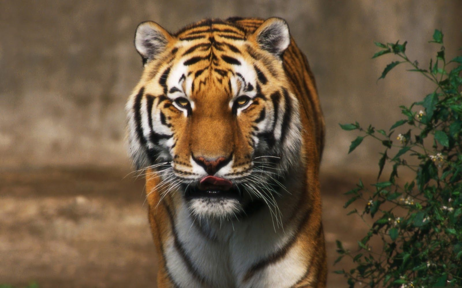Lions And Tigers Wallpapers Free Download