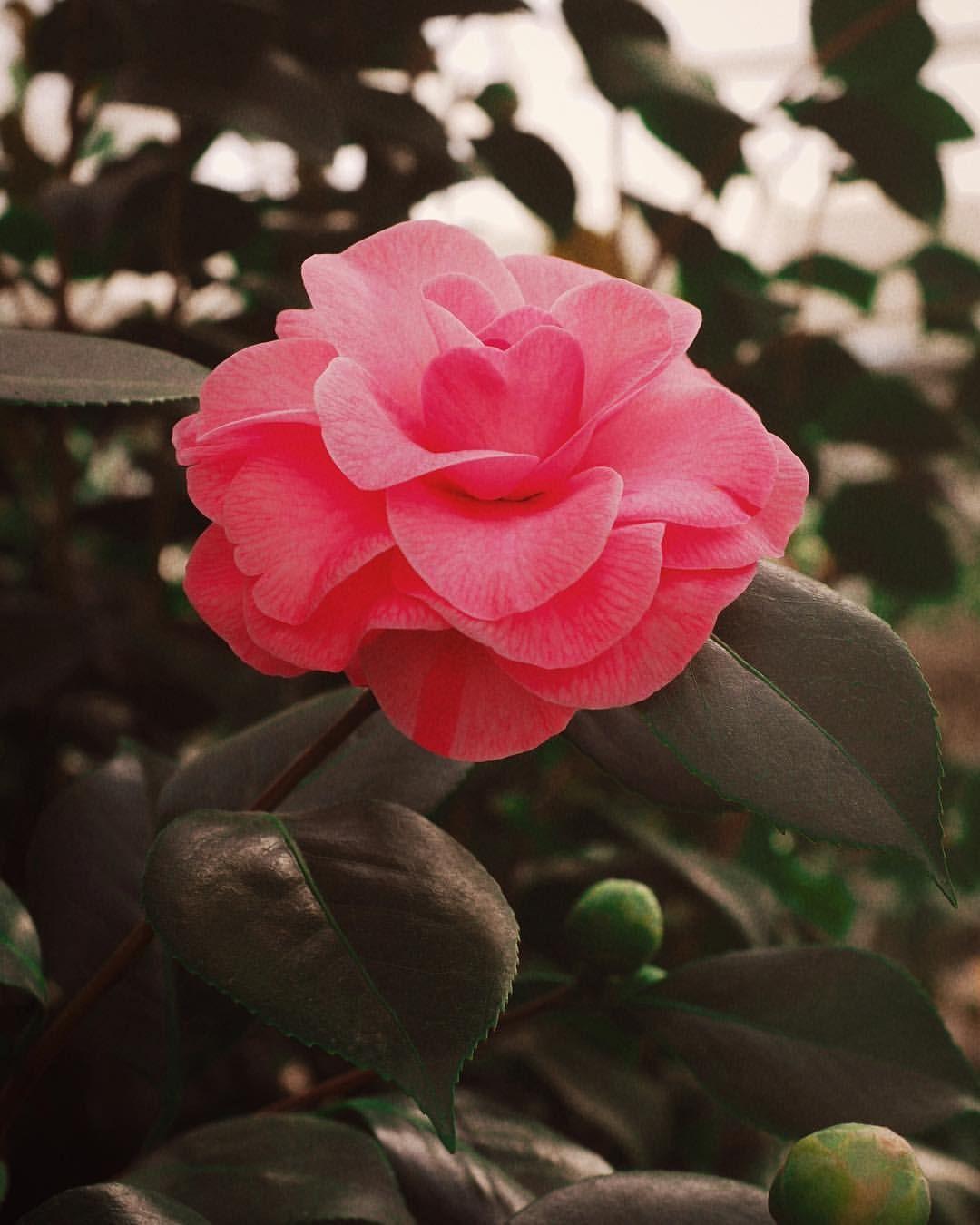 Flower Photography Pink Flower Photography Flowers Instagram