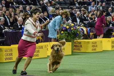 A Golden Retriever Failed To Fetch Best In Show At Westminster