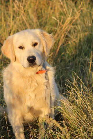 Short Haired Golden Retriever Golden Retriever Beautiful Dog Breeds