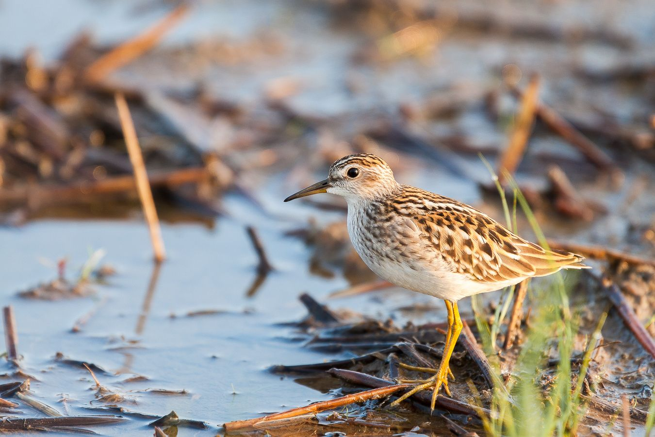 japanese name : ヒバリシギ(Hibarishigi)  The long-toed stint is a very small wader measuring just 13 to 16 cm (5.1 to 6.3 in)