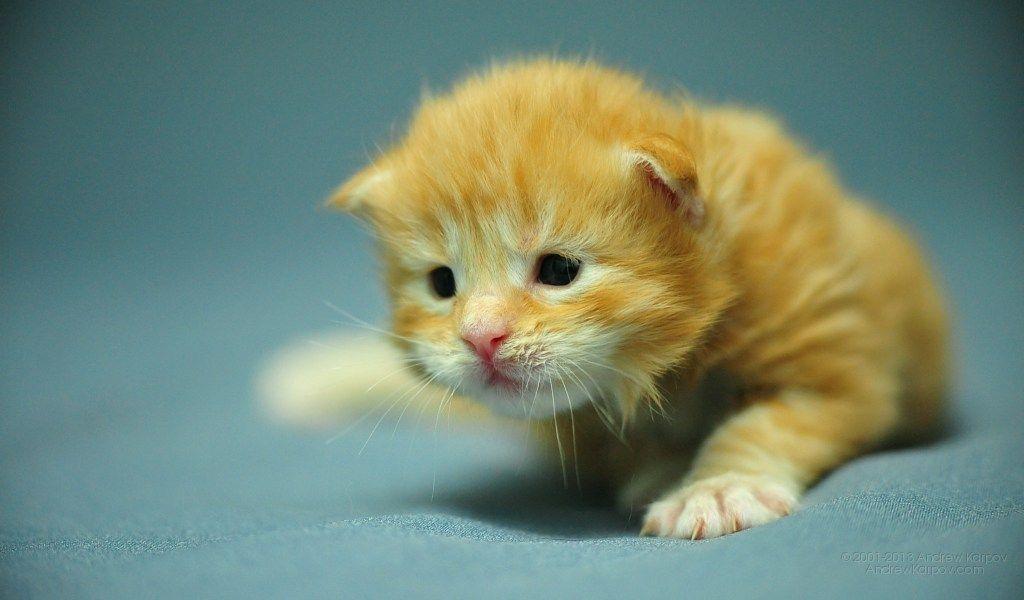 Kitten Starter Set Gratis