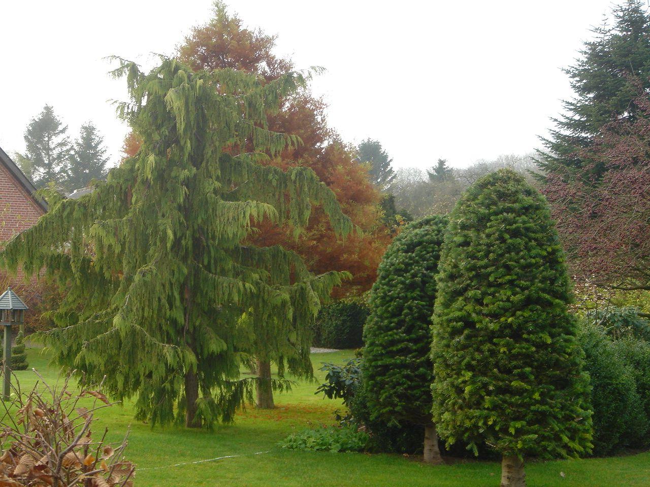 Udsnit af haven. Formklippede Ædelgran træer.