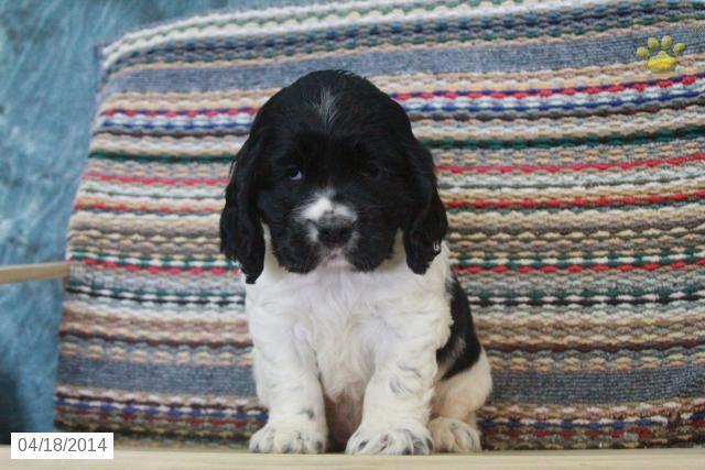 Cocker Spaniel Puppy For Sale In Lancaster Pennsylvania