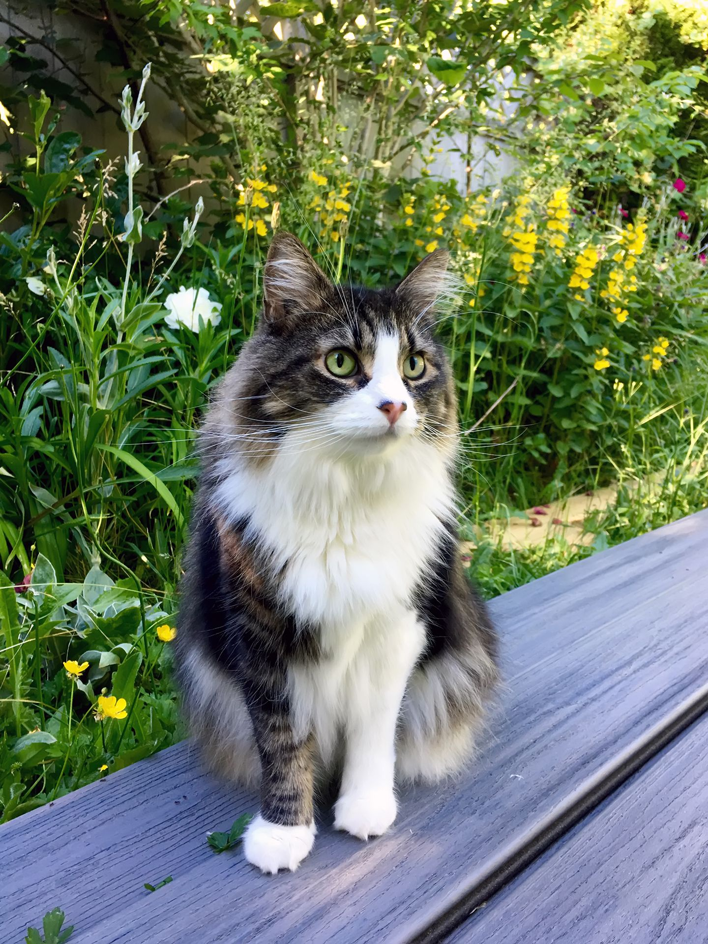 The Majestic Norwegian Forest Cat Here She Is Approving Decking Materials In 2020 Cats Norwegian Forest Cat Cute Animals