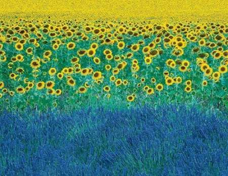 Sunflowers in Provence-France