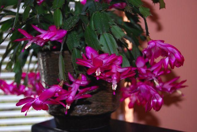 Le schlumbergera est une plante grasse qui fleurit for Plante en hiver