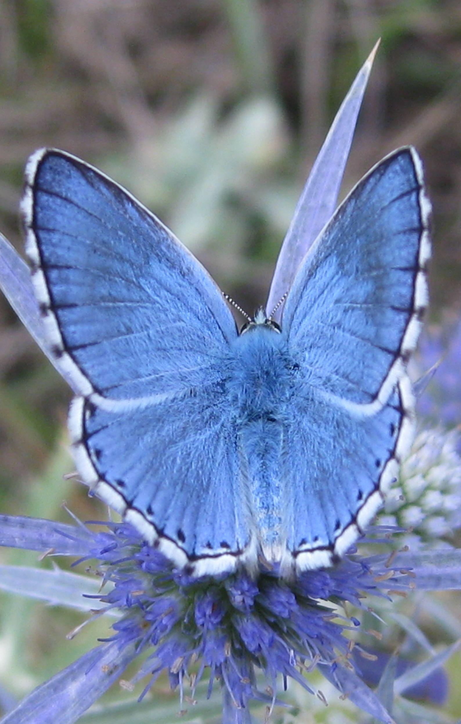 Eine Schmetterlings Bestimmungshilfe Fur Blaulinge Lycaenidae Kostenlos Interaktiv Online Dies Hier Ist Ein Himmelbl Insekten Interaktiv Erste Hilfe