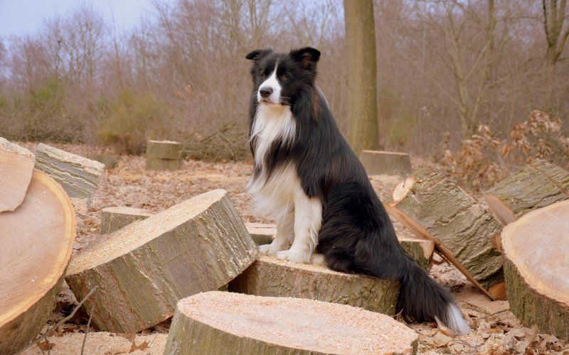 Border Collie Wallpaper Choice Image Wallpaper And Free Dogs Dog Training Socializing Dogs