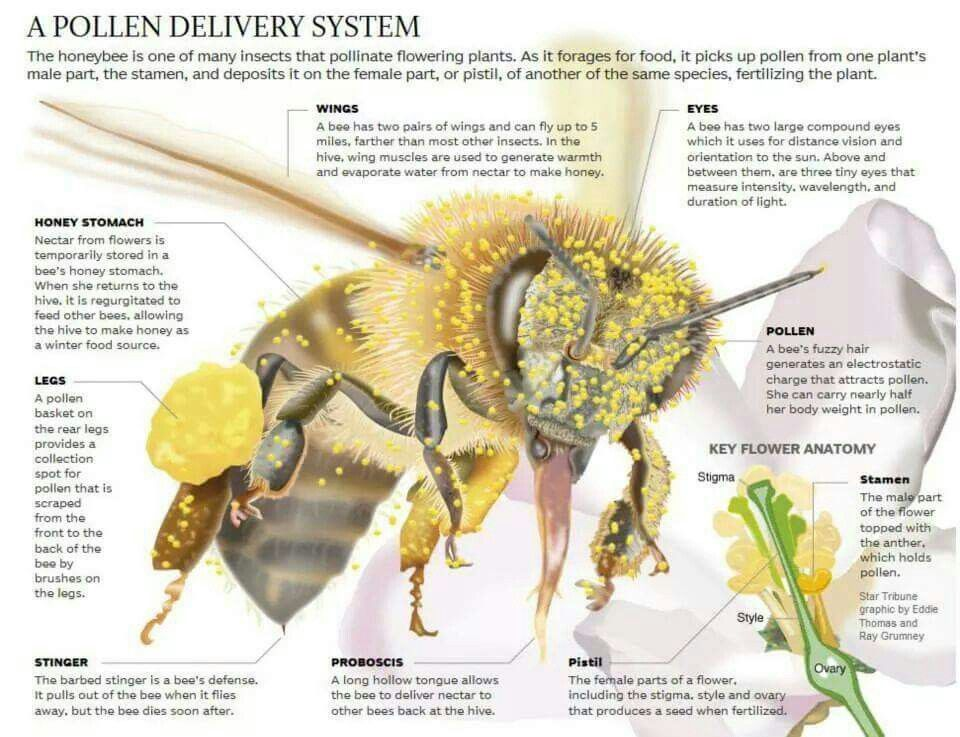 Honeybee Anatomy We wouldn\'t be Triple B without the Honey bee! Make ...