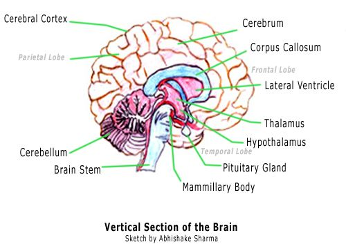 functions of the corpus callosum you didn't know but should all corpus callosum diagram corpus callosum diagram #1
