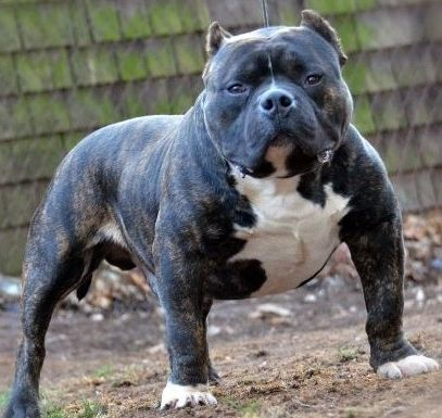 American Bully The Friendly Pitbull Bully Dogs Bully Dog