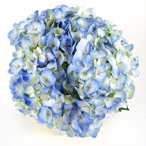 Light Blue Hydrangea Flowers And Fillers Flowers By Category Sierra Flower Finder Blue Hydrangea Flowers Blue Hydrangea Wholesale Flowers Wedding