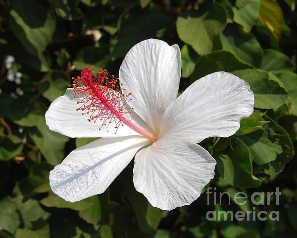 White Hibiscus Waimeae By Catherine Sherman Hibiscus White Hibiscus Beautiful Flowers