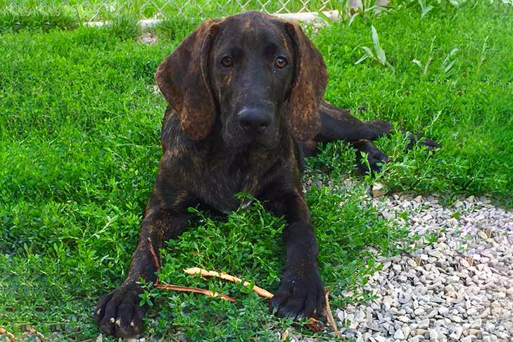 Plott Hound Dog Breed Information