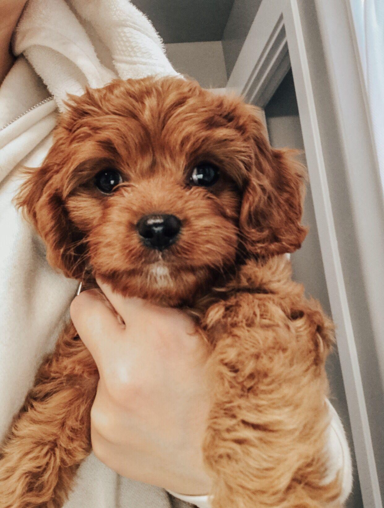 Cavapoo Cavoodle Teddy Bear Puppy King Charles Cavalier Spaniel