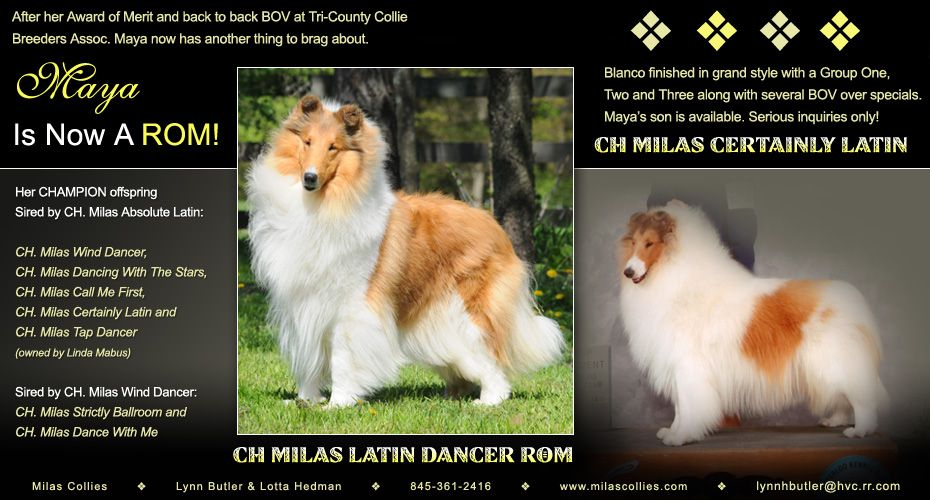 Milas Collies Ch Milas Latin Dancer Rom And Ch Milas Certainly