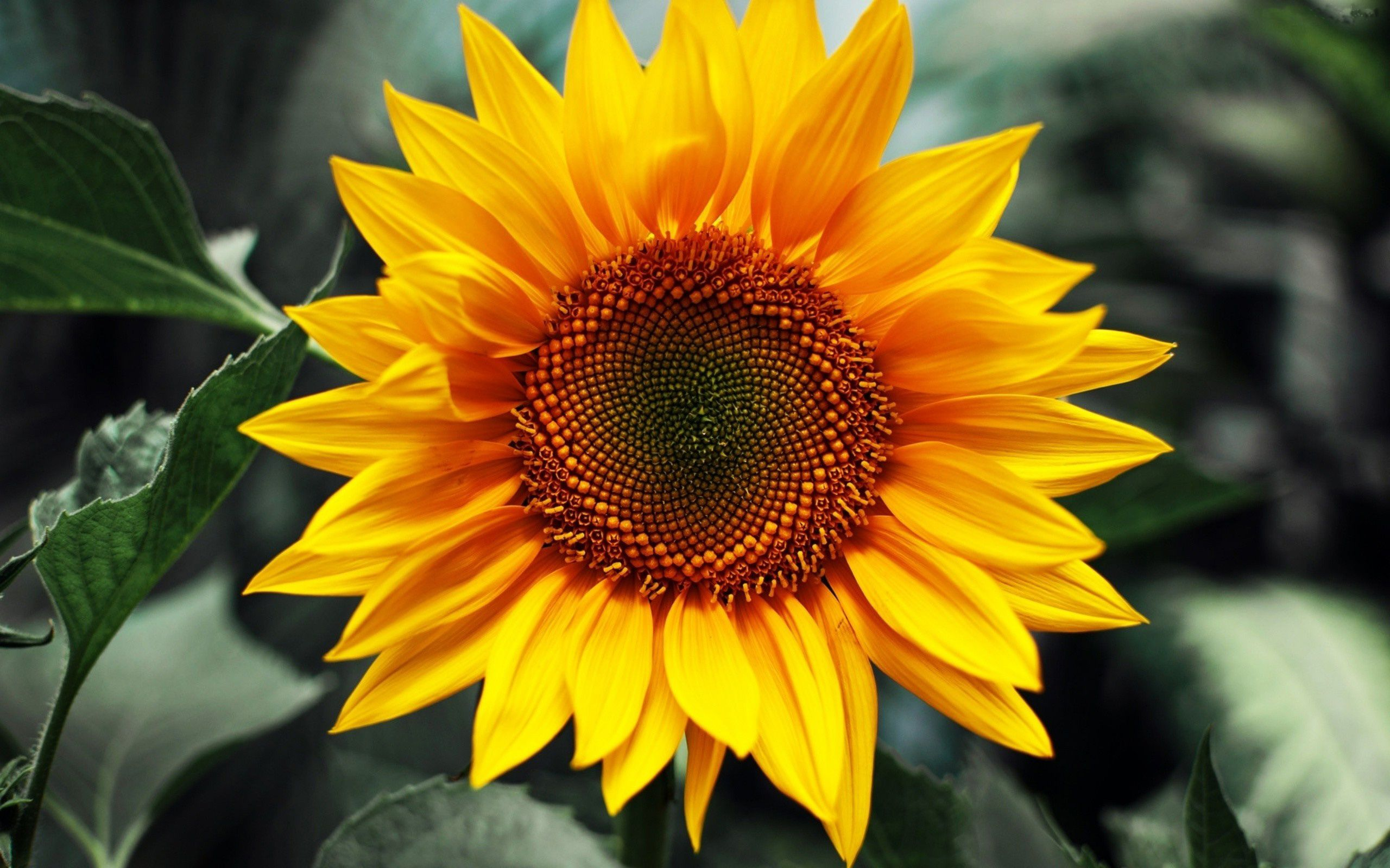 2560x1600 Laptop Backgrounds with Close Up Sunflower