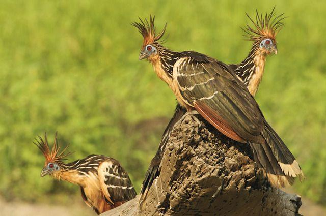 Foto cigana (Opisthocomus hoazin) por Marcos Amend   Wiki Aves - A Enciclopédia das Aves do Brasil