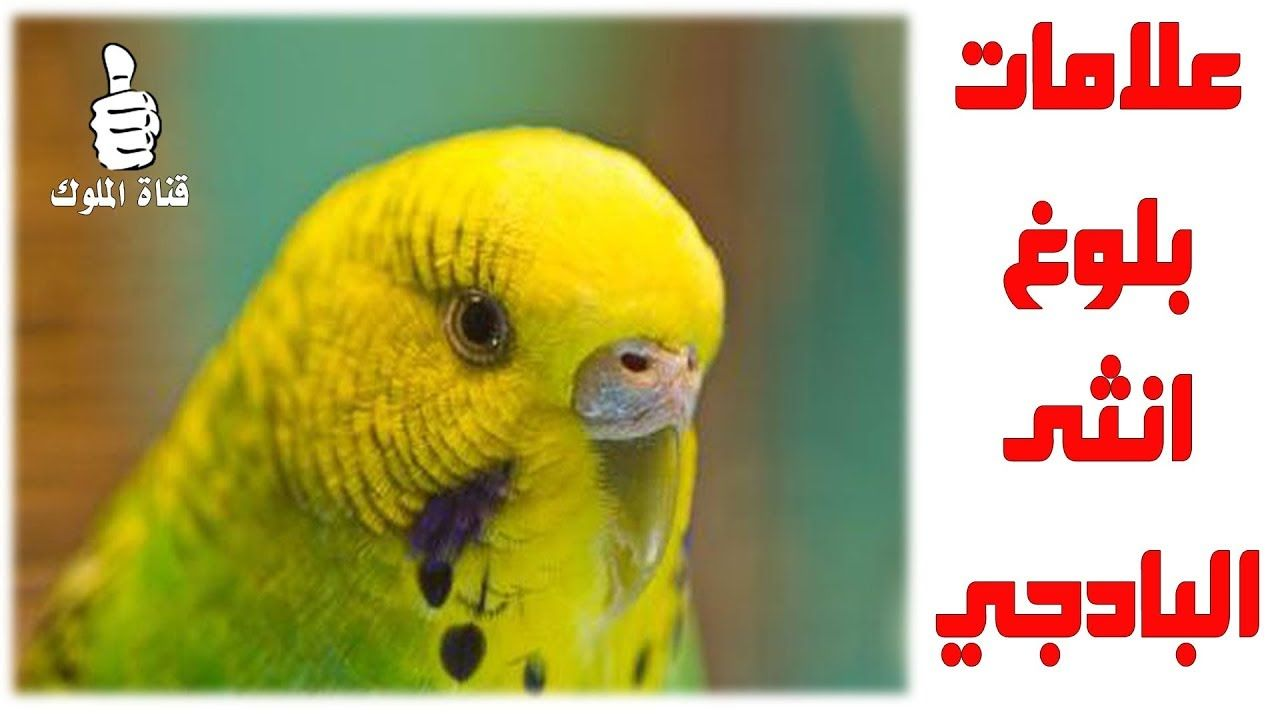 علامات انثى البادجي عند البلوغ Budgies Parrot Bird